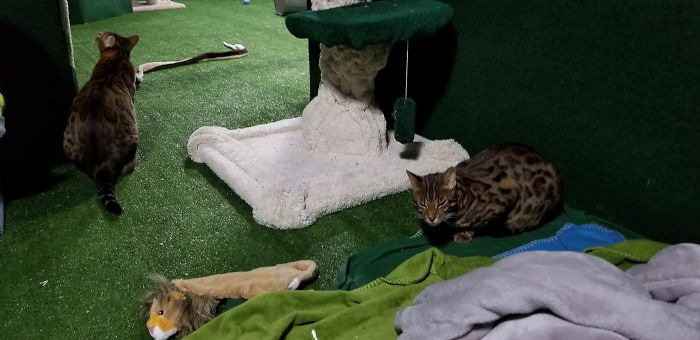 brother passed away adopted cats bengals build jungle basement 5c19fc47c3bf4 700